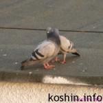 Gołębie gody i podchody